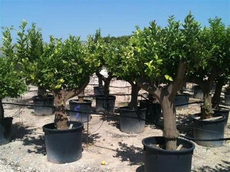 serra per limone in vaso limoni ulivi secolari piante e giardini import export di