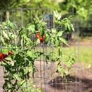 seminare pomodori in vaso seminare pomodori coltivare orto semina pomodoro