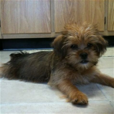 yorkie poodle lifespan 26 best ideas about on poodles trips