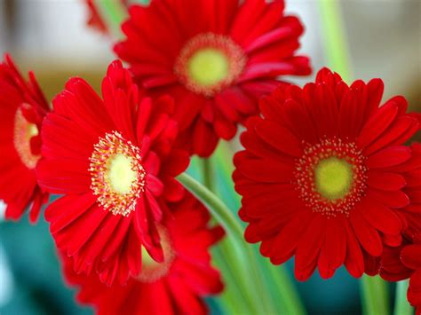 flower pic red flowers flowers wallpapers