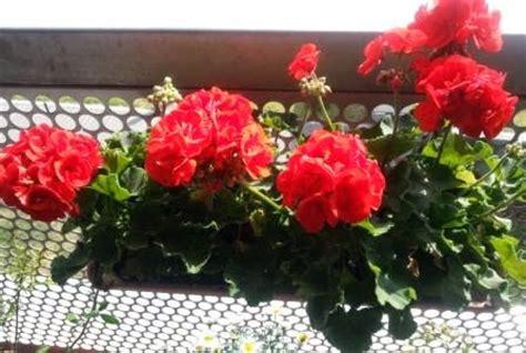 Geranien Giftig by Giftige Und Ungiftige Pflanzen Im Garten Und Auf Dem