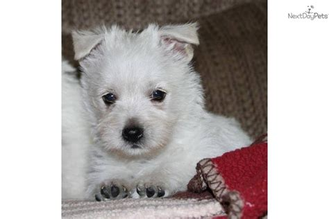 dogs for sale in kansas city near kansas city omaha and des moines west highland white terrier westie puppy