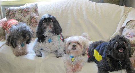 yorkie shih poo 24 best images about my dogz on lake chlain yorkie and at the
