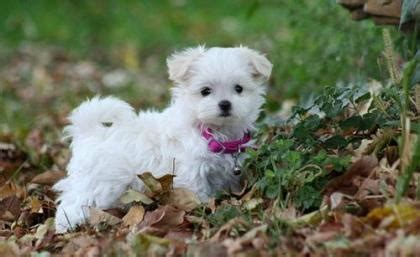 malti pom puppies for sale teacup bichon frise puppies for sale miltonkeynes dogs picture breeds picture