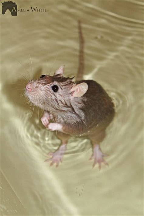 mice in bathroom pin by kim petersen on stuff pinterest rats bath and swim