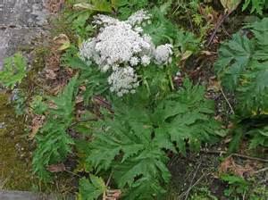 What Flowers Do Butterflies Like - persian hogweed heracleum persicum flowers naturegate