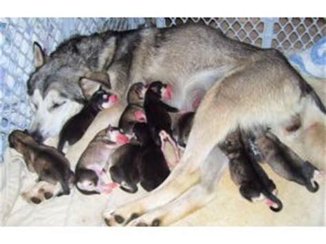 alaskan malamute puppies for sale california alaskan malamute puppies in california