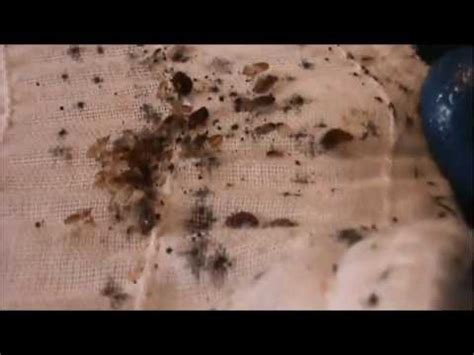 bed bugs youtube bed bug nightmare bed bug control in clearwater fl