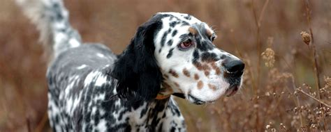 what does a setter dog look like decoverly kennels