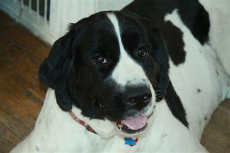 landseer puppies for sale landseer newfoundland dogs for sale puppies for sale in ontario canada