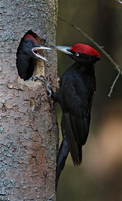 the woodpecker woodworking bird pileated wood all kinds of birds