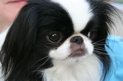 japanese breeds japanese chin chin small breed breeds of small dogs best small breeds