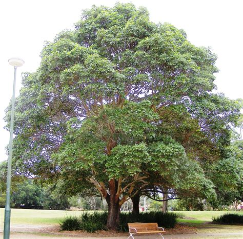 Maple Tree Nursery by Lophostemon Confertus Care Transplanters Sunshine