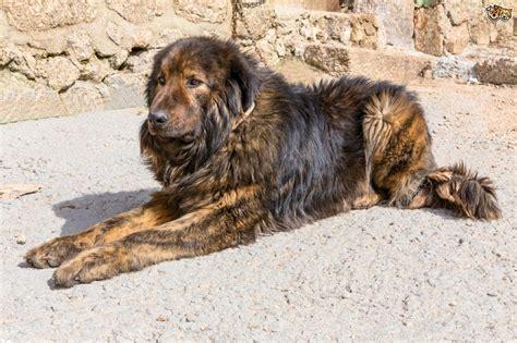 estrela mountain estrela mountain breed information buying advice photos and facts pets4homes