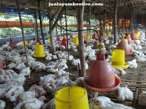Jual Bibit Ayam Broiler Jakarta jual ayam broiler di jakamulyajual ayam broiler jual