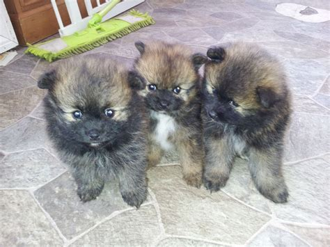 pomeranian puppies for sale lancashire fluffy puppies for sale