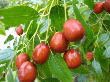 fior di giuggiola coltivazione giuggiolo come coltivare albero giuggiolo