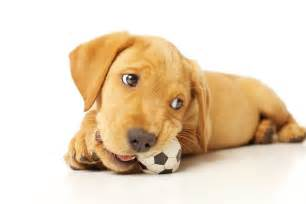 Dogs The Dog Trainer Teach Your Dog To Give Or Drop An Item
