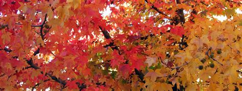 amberboom kopen amberboom kopen direct leverbaar bij boomkwekerij van ijmeren