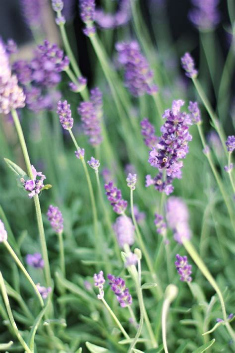 19 best images about lavender and grasses garden on pinterest gardens onion flower and jasmine