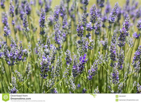 lavender flower blooming stock image image of scented 59046997