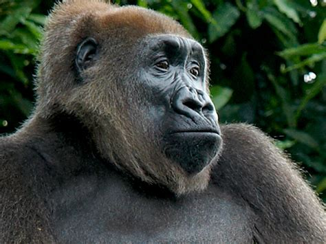 Cross River Gorilla Picture And Images