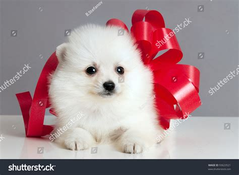 pomeranian with bow pomeranian puppy with a bow waiting to be given as a present stock photo