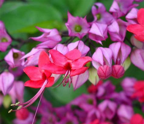Tanaman Merambat Nona Makan Sirih Clerodendrum Thomsoniae tanaman nona makan sirih ungu
