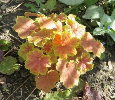 Soil Mix For Container Gardening - coral bells plant care and collection of varieties garden org