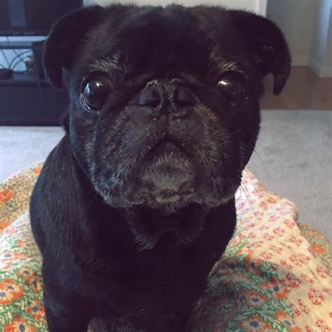 pugs for adoption in sweet 7 yo black pug for adoption in knoxville tennessee adopt dooley the pug