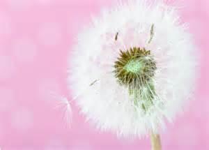 wallpaper pink dandelion dandelion soft white pink nature flowers hd wallpaper 1581255
