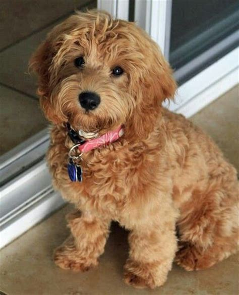 goldendoodle puppy uti 17 best ideas about labradoodle puppies on