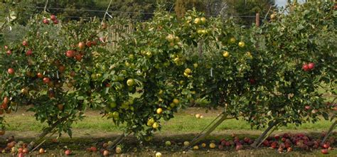 Planting Fruit Trees In Backyard by Cordon Fruit Trees How To Get The Best Harvest From A