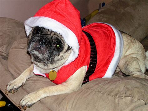santa pug santa pug photo and wallpaper beautiful santa pug pictures