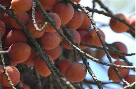 palm tree orange fruit palm tree fruit with orange fruits jpg