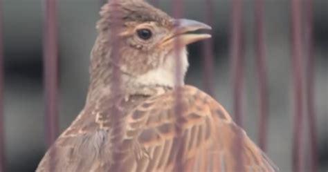 Jual Pakan Burung Branjangan kumpulan suara branjangan jantan gacor kicau betina