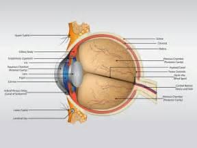 anatomie du humain organes