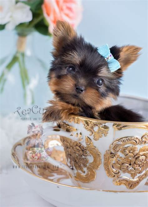 teacup yorkie florida teacup yorkies for sale by teacups puppy boutique teacups puppies boutique