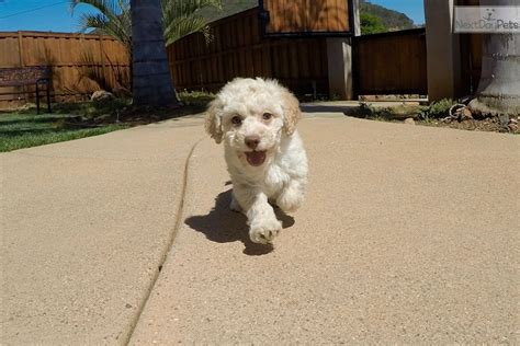 mini ozzy doodle ozzy goldendoodle puppy for sale near san diego