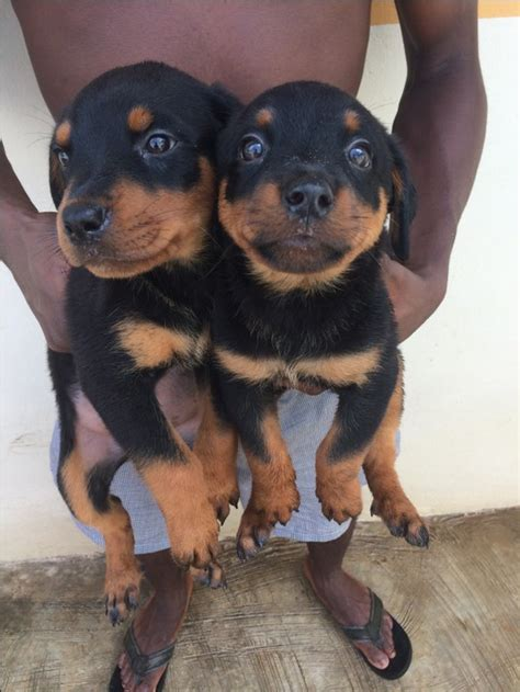 how much is a rottweiler 7weeks healthy rottweiler puppies available affordable prices pets nigeria