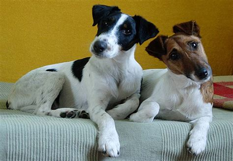 fox terrier puppies for sale smooth fox terrier puppies for sale akc puppyfinder