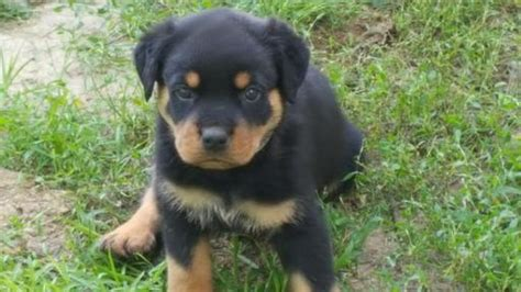 rottweiler for sale in va rottweiler puppies sale virginia dogs our friends photo