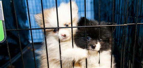 aspca puppy mills your puppy mill story l animal cruelty l aspca