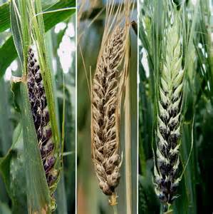 Crop Plant Diseases - diagnosing covered in barley agriculture and food