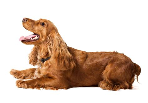 golden retriever and cocker spaniel golden cocker retriever golden retriever cocker spaniel mix ultimate home