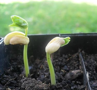 Quand Semer Les Haricots Verts by Haricot Semer Des Haricots Jardinage Bio