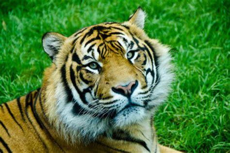 tiger tiger ist es wahr 3981175271 tiger streicheln in deutschland hinweise