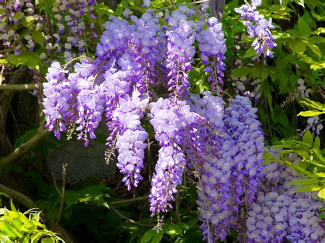 wisteria sinensis chinese wisteria world of flowering