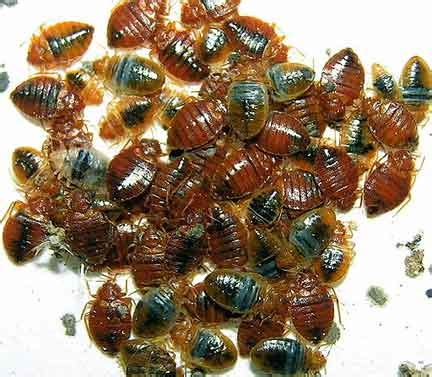 exterminate bed bugs bed bugs parsippany nj bed bug exterminator parsippany