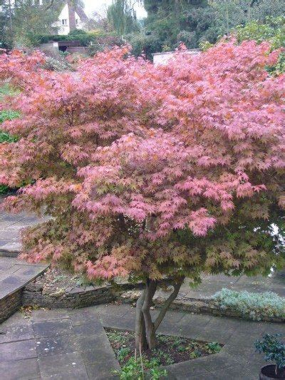 planting a japanese maple tree tips on growing and caring for japanese maples